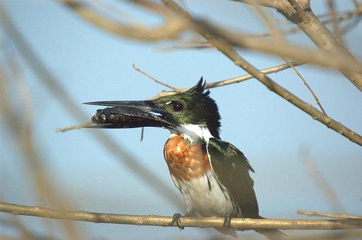 Kingfisher, Llanos, Bird, Animal