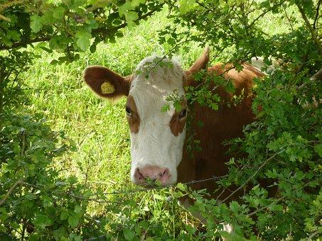 Cow, Cattle, Friesian, Green