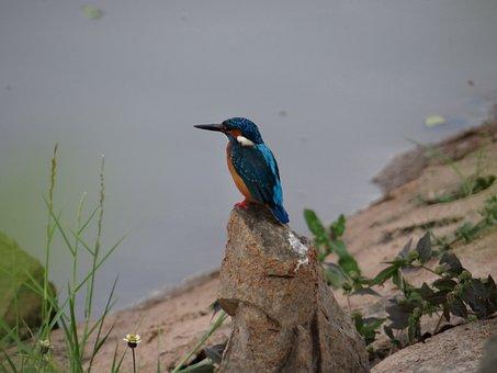 Small Blue Kingfisher, Dharwad, Sadhankeri, Kingfisher