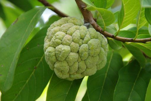 Fruit, Food, Fresh, Green, Custard Apple, Delicious