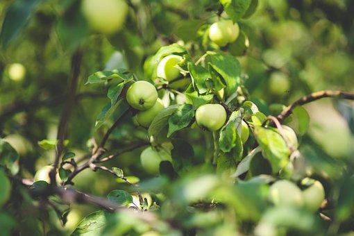 Apple, Green, Nature, Fresh, Branch, Tree, Fruit
