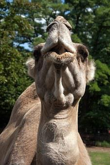 Camel, Head Muzzle, Animal