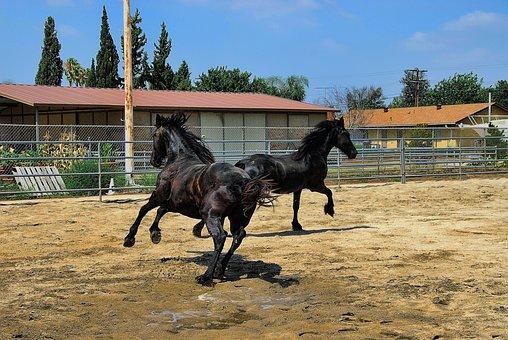 Horses, Friesian, Black Fur