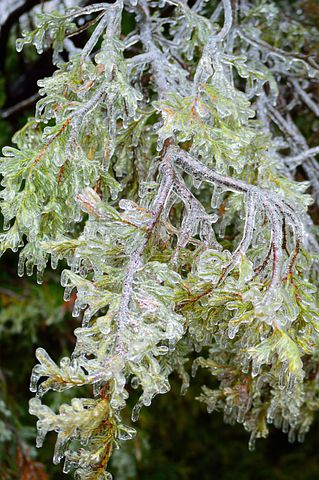 Ice Bough, Winter, Ice, Tree, Nature, Branch