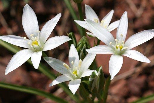 Ornithogalum Montanum, Flower, Nature