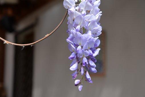 Wisteria Sinensis, Flower, Violet, Purple