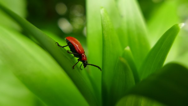 Beetle, Lily Beetle, Red, Insect, Red Beetle, Nature