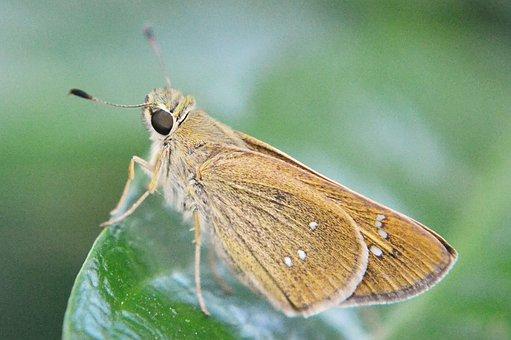 Butterfly, Rhopalocera, Tiny Butterfly, Small Butterfly