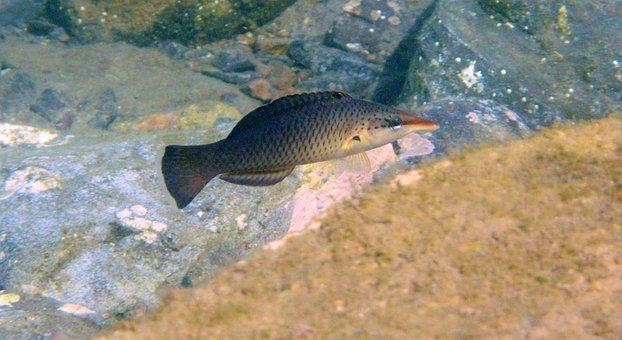 Bird Wrasse, Fish, Bird Fish, Underwater, Scuba
