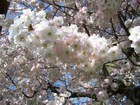 Blossoming Bough, Spring, Pink