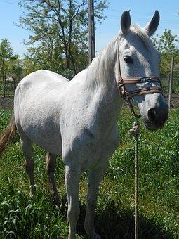Horse, Casicea, Romania, Tatar Life, Tatars