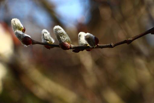 Weidenkätzchen, Plant, Pussy-willow, Willow, Twig