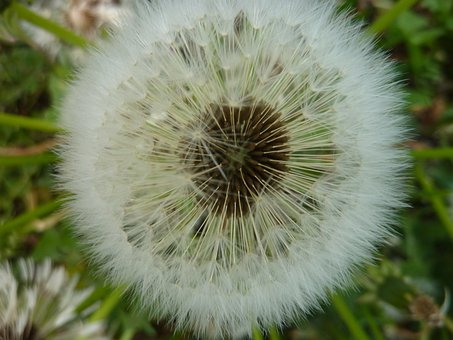 Withered Dandelion Number, Flower, Pointed Flower