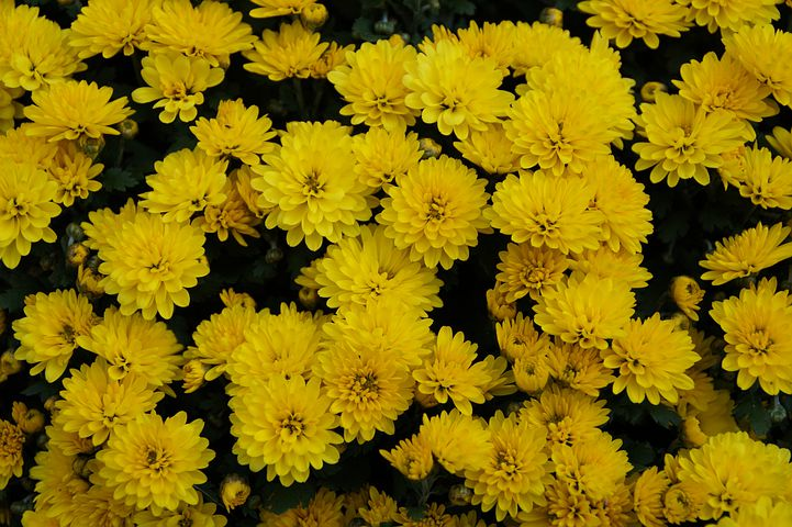 Flowers, Ornamental Flowers, Bush, Yellow, Background
