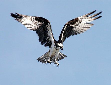 Osprey, Adler, Bird Of Prey, Raptor, Bird