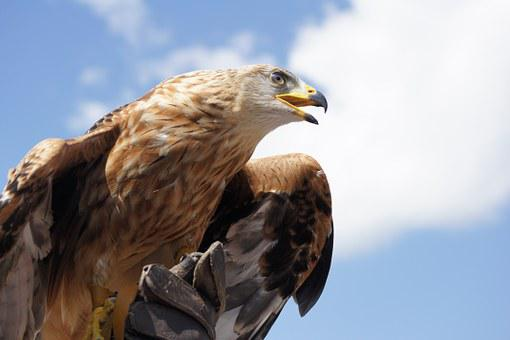 Golden Eagle, Animal, Bird, Bill, Adler, Raptor