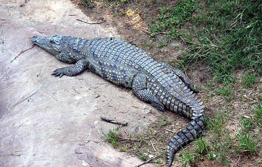 Alligator, Gator, Reptile, Crocodile, Wildlife