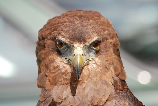Eagle, Raptor, Bird, Beak, Eyes, Falconry, Plumage