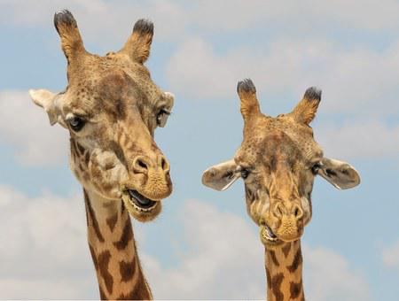 Giraffe, Animals, Zoo, Funny, Fauna, Mammal, Wildlife