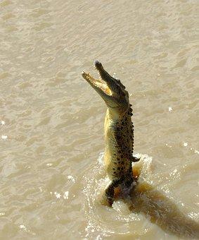 Crocodile, Saltwater, Jumping, River, Australia