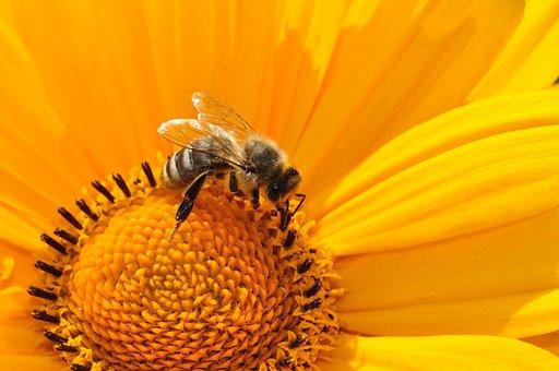 Bee, Pollen, Nectar, Yellow, Blossom, Bloom, Macro