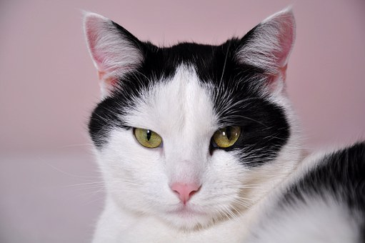 Cats, A Normal Cat, Pet