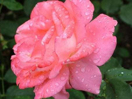 Rose, Flower, Red, Plant