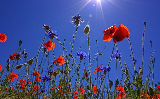Field Of Poppies, Sun, Spring, Nature, Summer