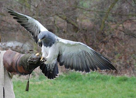 Raptor, Bird, Training, Falconry, Predator, Eagle