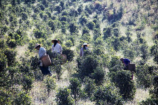 Tea Pickers, Tea Picking, Work