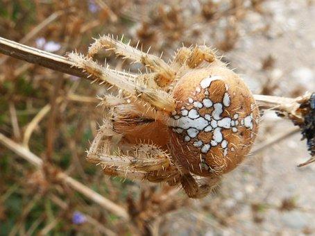 Spider, Web, Araneus Diadematus, European Garden Spider
