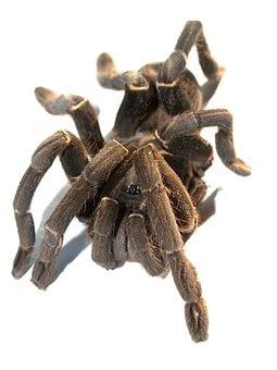 Spider, Tarantula, Arthropod, Photography, Hairy