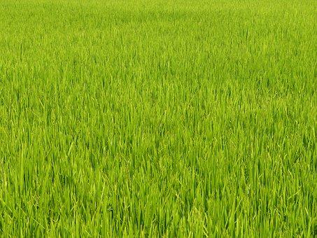 Vietnam, Asia, Rice, Field, Green, Paddy