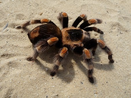 Tarantula, Brachypelma, Red Knee Poisonous
