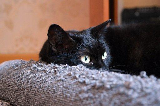 Black Cat, Scratching Posts, Cat Looking, Cat