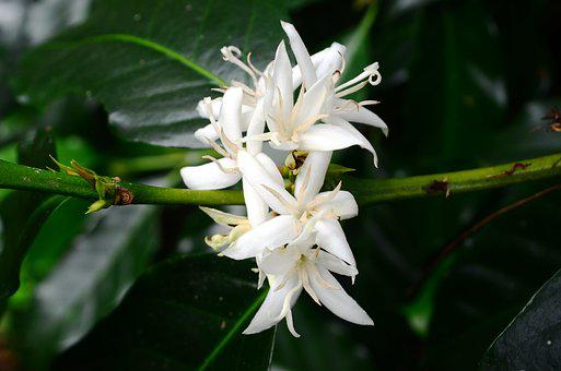 Flower, Coffee Flower, Coffee, Nature, Freelance, Asian