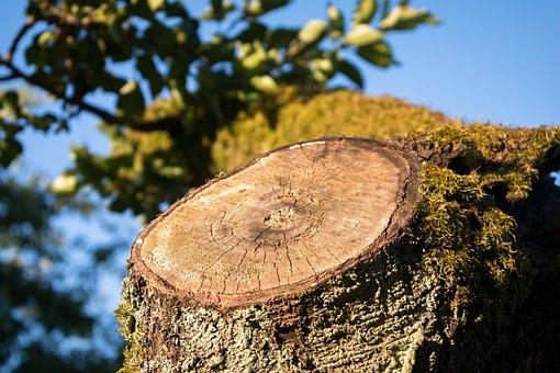 Aststumpf, Tree Stump, Sawed Off, Tree, Wood, Forest