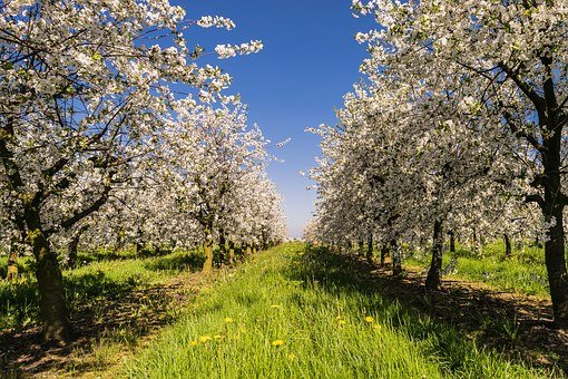Fruit, Plantation, Avenue, Apple, Bio, Blossom, Bloom