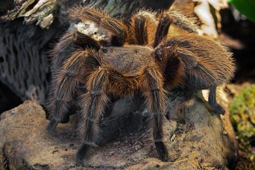 Spider, Tarantula, Fear, Arachnophobia, Creepy, Hairy