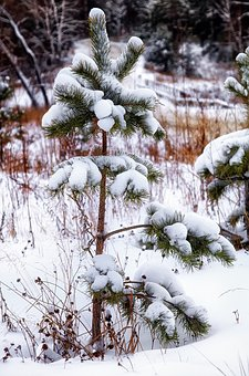 Snow, Pine, Lonely, Winter, Forest, Nature, Tree