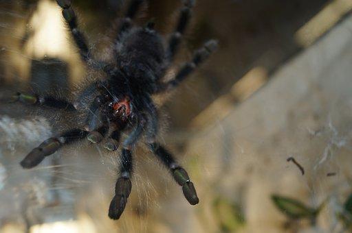 Tarantula, Mandibles, Spider, Creepy, Close Up