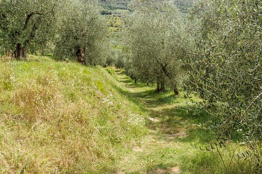 Olive Grove, Olives, Trees, Olive Trees, Olive Tree