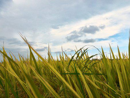 Paddy Field, Field, Sky, Rice, Farm, Malaysia