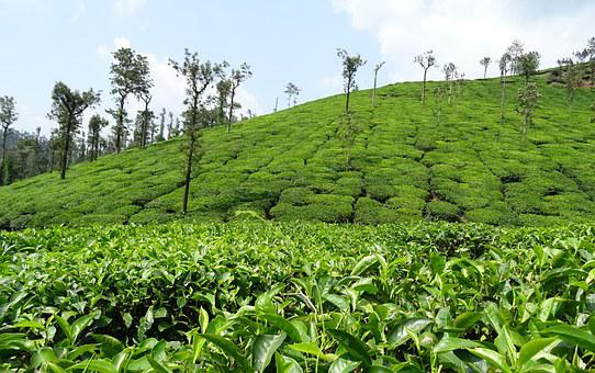 Tea Garden, Tea, Plant, Plantation, Estate, Shree Ganga