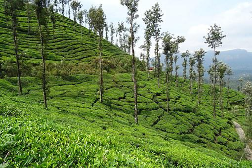 Tea Garden, Tea, Plant, Plantation, Estate, Kelagur
