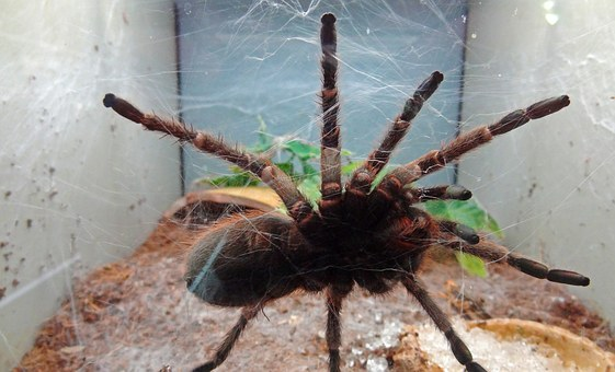 Tarantula, Spider, Disgust, Fear, Cobweb, Poison Spider