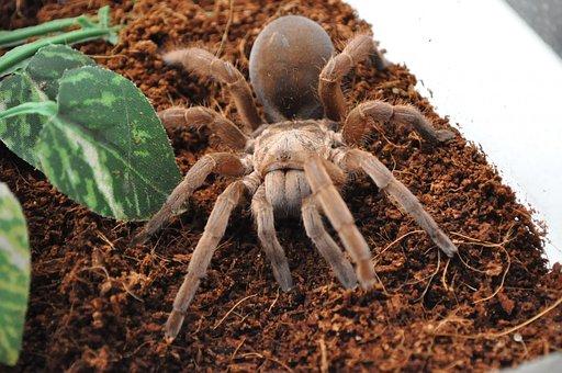 Tarantula, Spider, Arachnid, Danger, Insect, Fear