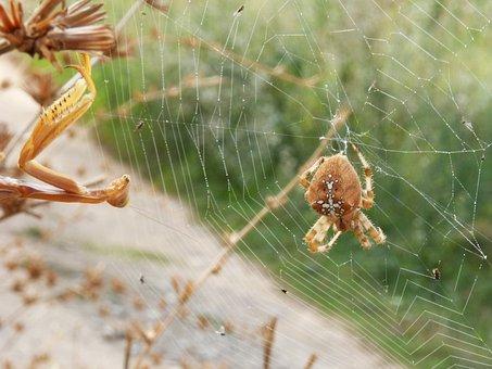 Spider, Mantis, Web, Araneus Diadematus