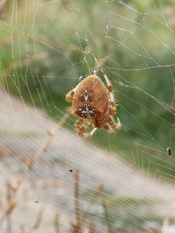 Spider, Web, Araneus Diadematus, Devouring An Insect