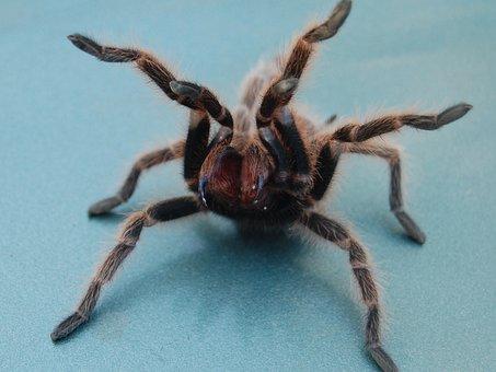 Tarantula, Spider, Fuzzy, Fangs, Arachnid, Creepy
